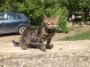 Бенгальские котята маленькая