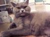 Британские котята маленькая