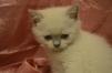 Британские котята на продажу маленькая