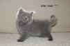Британские элитные котята из ведущего питомника маленькая