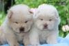 Чау-Чау щенки маленькая