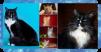 Чемпион породы мейн кун приглашает кошек на вязку маленькая