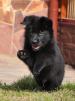 Черные щенки но маленькая