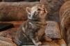 Чистокровные британские котята (28.04.2013) маленькая