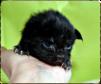 Чистокровные котята мейн кун маленькая