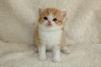 Cкоттиш-cтрайт котик маленькая