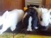 Декоративный кролики маленькая