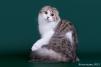 Длинношерстная пятнистая кошечка маленькая