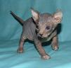 Канадский сфинкс котик и кошечка с зелеными глазами маленькая