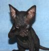 Канадский сфинкс котики и кошечка маленькая