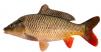 Карп оптом (живая рыба) маленькая