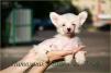 Китайской хохлатой щеночки маленькая