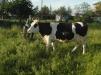 Корова 5 лет маленькая