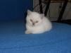Кошка скотиш страйт маленькая