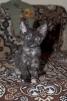 Котята донского сфинкса маленькая