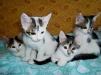 Котята дворово-розыскные игручие маленькая