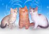 Котята метисы британской и сибирской маленькая