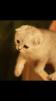 Котята серебристой шиншиллы маленькая