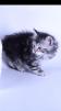 Котятки- рысятки маленькая