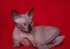 Котёнок канадского сфинкса маленькая