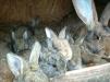 Кролики гиганты фландеры маленькая