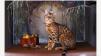 Купить бенгальского котенка маленькая