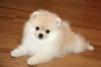 Куплю собаку породы Померанский шпиц маленькая