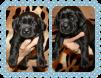 Лабрадора ретривера щенки маленькая