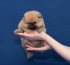 Мальчик миниатюрного шпица маленькая