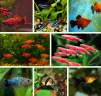 Мирные рыбки для Вашего аквариума маленькая