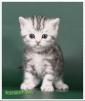 Мраморные британские котята из питомника маленькая