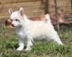 Недорого - щенок  китайской хохлатой  собаки маленькая