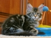 Котята Мейн-Куна маленькая