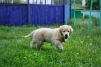 Очаровательный щенок золотистого ретривера маленькая
