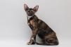 Ориентальная  кошка маленькая