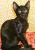 Ориентальные котята эбони и колор-пойнт маленькая