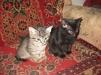 Отдадим котят в заботливые руки маленькая