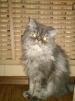Отдам персидского кота в добрые руки маленькая