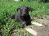 Отдам щенков: метисы овчарки и лайки маленькая