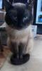 Отдам сиамского кота в добрые руки маленькая