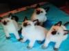 Отдам в добрые руки сиамских и простых черных котят маленькая