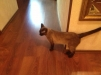 Отдам в добрые руки сиамского кота маленькая