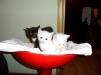 Отдам в хорошие руки котят от породистых родителей маленькая