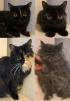 Персидские и экзотические котята маленькая