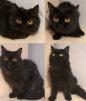 Персидские кошечки маленькая
