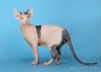 Предлагается котик породы канадский сфинкс маленькая