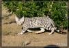 Продается Бенгальский котенок маленькая