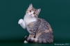Продается Черепаховая кошечка маленькая