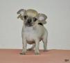 Продается чудесный щенок чихуа (девочка) маленькая