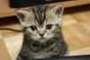 Продается котенок британской короткошерстой породы маленькая